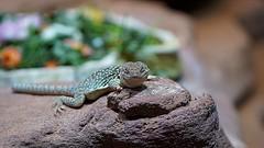 DSC00751 (Fotofreaky2013-BUSY) Tags: dierentuin dierenpark dierenparkamersfoort amersfoort zoo dier animal reptiel reptile