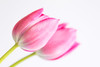 100/365: Come a little closer... (judi may) Tags: 365the2018edition 3652018 day100365 10apr18 tulips pink flowers highkey white whitebackground stems petals macro canon7d soft softness pastel pastelpink depthoffield dof bokeh