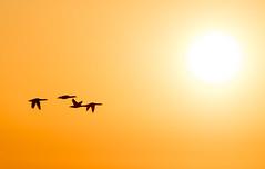 In to the sun (- Man from the North -) Tags: birds flyingbird sky flying sunlight sun springtime towardsspring greetingsfromfinland finland westcoast ostrobothnia sunset atsunset sundown