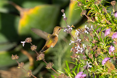 Hummingbird (jmhull.LA) Tags: california torrance southerncalifornia flowers bird naturecenter southbay hummingbird madronamarsh
