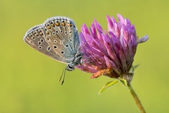 *Common Blue on Clover* (Albert Wirtz @ Landscape and Nature Photography) Tags: albertwirtz macro natur nature meadow blumenwiese naturwiese naturalmeadow commonblue gemeinerbläuling bläulingimmorgenlicht bergweiler rheinlandpfalz rhinelandpalatinate deutschland germany makrofotografie macrophotography spring frühling clover kleeblüte tagfalter bläuliche lycaenidae polyommatusicarus butterfly blüte bloom insect nikon micronikkor105mmf28vr