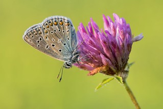 *Common Blue on Clover*