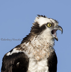 osprey (amaw) Tags: winner alt