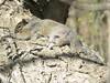 Eastern Grey Squirrel 3 (D. S. Hałas) Tags: halas hałas canada ontario haltonregion haltoncounty oakville nipegontrail chordata sarcopterygii mammalia rodentia sciuridae sciuruscarolinensis easterngreysquirrel easterngraysquirrel squirrel