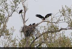 """Returning Home"" (KellyShipp) Tags: returninghome baldeagle eagle haliaeetusleucocephalus nest arkansas bird birds birdofprey raptor family eaglenest"