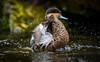 I belive I can fly (Julie. D) Tags: duck canard canne cute oiseau bird water splash animal wildlife nikon d7100 tamron70200 28