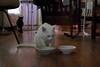 """The dry food was pretty good. I wonder about the wet."" (rootcrop54) Tags: charlie amusing eating ritual really slow savorthemoment white allwhite male cat feeding set neko macska kedi 猫 kočka kissa γάτα köttur kucing gatto 고양이 kaķis katė katt katze katzen kot кошка mačka gatos maček kitteh chat ネコ"