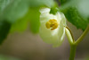 Mayapple Flower (Wildphotography - Barry Rowan) Tags: botanicalgarden charlotte flowersplants mecklenburgcounty nature northcarolina spring unccharlotte mayapple flower