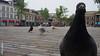 Wilhelminaplein (Dirk de Bood) Tags: dove wilhelminaplein