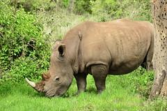 Белый носорог, Ceratotherium simum, White Rhinoceros (Oleg Nomad) Tags: белыйносорог ceratotheriumsimum whiterhinoceros африка кения сафари озеро накуру природа носорог africa kenya safari nakuru animals mammals travel nature животные млекопитающие