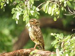 Coruja-buraqueira (Alexandre Marino) Tags: corujaburaqueira athenecunicularia corujas coruja pássaros birds aves