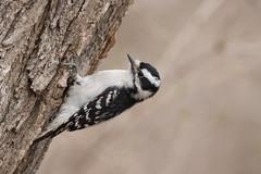 4704 (Condor Photography) Tags: downywoodpecker picoides picoidespubescens bird woodpecker