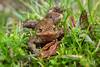 kiss me (Schneeglöckchen-Photographie) Tags: frog grass nature sprin king frosch