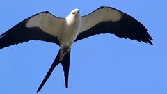 swallow-tailed kite (quadceratops) Tags: florida nature sanibel island raptor swallow tailed kite