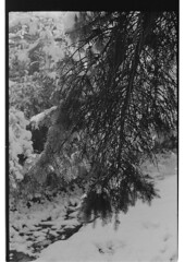 P61-2018-018 (lianefinch) Tags: argentique argentic analogique analog monochrome blackandwhite blackwhite bw noirblanc noiretblanc nb nature neige snow winter hiver white blanc noir sun soleil arbre tree garden jardin sapin fir