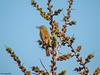 Sedge Warbler (Corine Bliek) Tags: acrocephalusschoenobaenus bird birds vogel vogels natuur nature wildlife reed rietlanden reeds riet wetlands