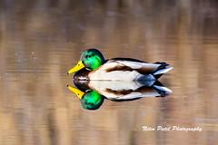 IMG_4433 (nitinpatel2) Tags: mallard bird nature nitinpatel reflection