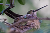 Little Momma (Jasper's Human) Tags: annashummingbird bird nest