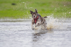 I think I'm going to get wet! (Paul Wrights Reserved) Tags: dog dogs action actionphotography water splash splashing splashes bokeh fast canine pooch pet pets petphotography animal animals animalantics