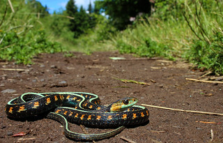 Red-spotted Garter Snake (Thamnophis sirtalis concinnus)