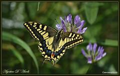 Ti aspettavo... - Aprile-2018 (Agostino D'Ascoli) Tags: nikon nikkor farfalla cianciana sicilia agostinodascoli nature texture fiori