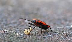 Pyrrhocoris - lunch time (PLADIR) Tags: pyrrhocoridae feuerwanze pyrrhocoris schnabelkerfe gemeinefeuerwanze firebug macro insekt insect sony a77 slta77ii