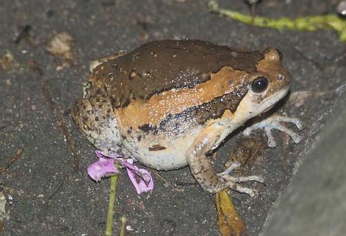 Asian Painted Frog, Kaloula pulchra