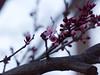 P2133069a (caligula1995) Tags: plumtree flowers 2018