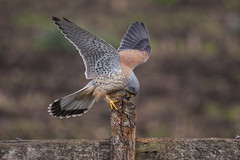Kestrel (y.mihov, Big Thanks for more than a million views) Tags: commonkestrel bird landing feathers mouse lunch meal falcotinnunculus nature sonyalpha sigma 150500mm animals day outdoor england uk