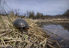 Spotted Turtle (Nick Scobel) Tags: spotted turtle clemmys guttata michigan spring marsh fen sedge threatened endangered species patterning spots markings habitat wide angle scenic
