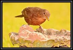 """Havin' a Fat Ball...!"" (NikonShutterBug1) Tags: nikond7100 tamron18400mm birds ornithology wildlife nature spe smartphotoeditor birdfeedingstation bokeh wings blackbird birdsfeeding 7dwf"