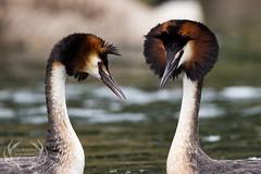 _DSC6556 (Bartek Olszewski) Tags: grebe birds ducks nature nikon nikond4s natureperfectionthernature perkoz wildlifephotography water