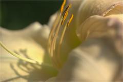 soft and tender......... (atsjebosma) Tags: flower bloem lily lelie details soft atsjebosma june juni tuinen appeltern thenetherlands 2018 summer zomer coth5 ngc npc