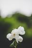 White and green (mripp) Tags: art vintage retro old voigtlaender nekton sony flowers bokeh summer nature