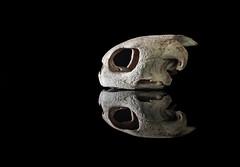 Sea Turtle see-through (tvdijk19) Tags: seaturtle studio skull animal nature teunvandijk fujixt2 naturallight