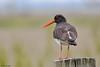 Oystercatcher (Corine Bliek) Tags: bird birds vogel vogels waders weidevogels natuur nature wildlife grasslands haematopusostralegus