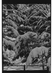 P59-2018-018 (lianefinch) Tags: argentique argentic analogique analog blackandwhite blackwhite bw noirblanc noiretblanc nb monochrome neige snow arbre tree jardin garden outdoor extérieur sapin