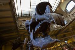 Grandes dents (StephanExposE) Tags: paris iledefrance france stephanexpose canon 600d 1635mm 1635mmf28liiusm musée museum paléontologie os bone dinosaure jardindesplantes