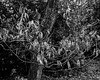 Winter leaves at the beginning of spring (Hyons Wood) (Jonathan Carr) Tags: tree branch ancient woodland rural northeast abstract landscape bw black white monochrome 4x5 5x4 largeformat toyo45a leaves winter