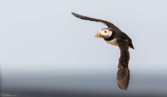 Puffin in flight (Steve (Hooky) Waddingham) Tags: bird british sea coast nature northumberland flight fish wild wildlife photography puffin