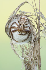 "Xysticus spp. (tomaszhalota ""tomir"") Tags: nikon d7100 venuslaowa60mmf28ultramacrolens macro closeup ngc tripod stack spider xysticus crab nature naturallight animal bug insect laowa"