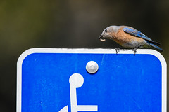 Blue on blue (Minder Cheng) Tags: lakeanza tildenregionalpark westernbluebird berkeley california unitedstates us