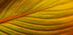 20180401_DSC0216 (dave.fergy) Tags: leaf green abstract pattern backlight yellow red on1pics