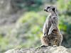 Suricata (josuneetxebarriaesparta) Tags: suricatasuricatta mangosta carnívoro africa animali animal