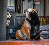 Affection and Love on a Forklift! (PerfectStills) Tags: meath d850 affection ireland bulldog photography dog cat hugs perfectstillscom aubreymartin feb18 perfectstills