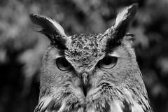 Sfida (carlo612001) Tags: gufo guforeale owl eagleowl blackandwhite biancoenero wildlife natura animali animals uccelli birds raptors look sguardo rapaci birdsofprey hibou eule búho coruja филин uil بومة ינשוף 梟
