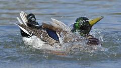 Bath time (JSB PHOTOGRAPHS) Tags: nd3187700001 mallard male duck altonbakerpark pond bath nikon d3 nikon200500mmafsgf56evr 200500mm