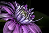 Osteospermum 2018 (Darwinsgift) Tags: nikon d850 flower macro osteospermum ring flash starblitz 1000 tokina 100mm pro atx