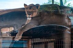 Columbus Zoo-17 (MrTopher) Tags: aquarium columbus hanna jack lion ohio zoo airplane lioness plane wing