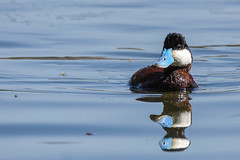 Ruddy Duck (Minder Cheng) Tags: lakemerritt ruddyduck oakland california unitedstates us